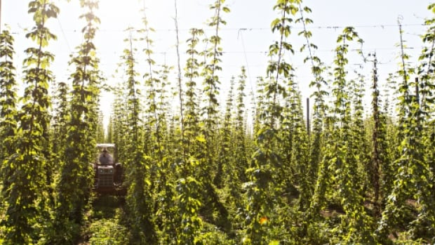 Hops grow as vines that can reach a height of 10 metres.