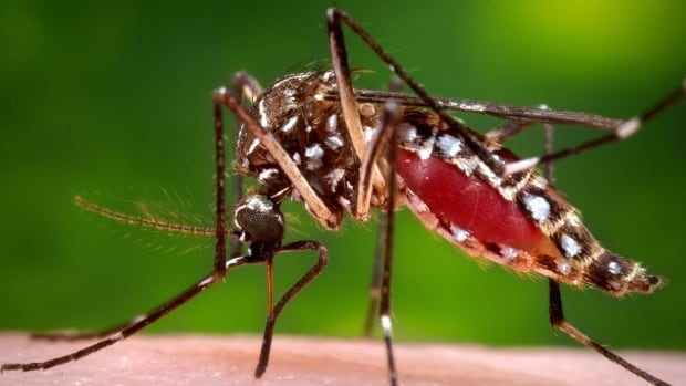 The Aedes aegypti mosquito spreads the Zika virus, as well as dengue fever and chikungunya.