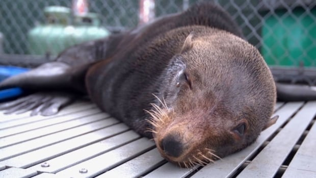 This Guadalupe fur seal, rescued  off the coast of Vancouver Island, has died, according to the Vancouver Aquarium.