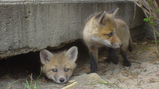 Two fox cubs were found living under a concrete porch in Beaconsfield. Foxes have also been spotted in alleyways, parks and backyards around Montreal, particularly in NDG