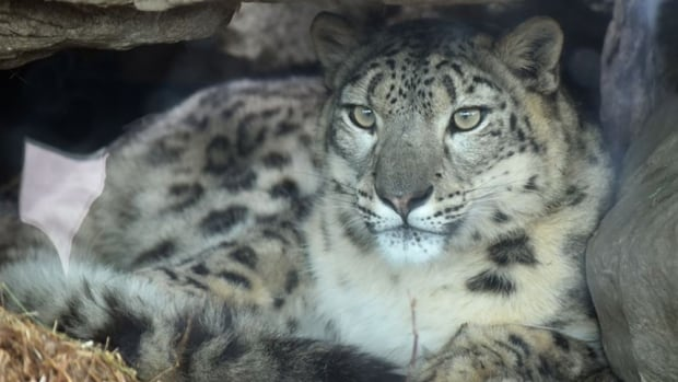 The Calgary Zoo is showing off its latest acquisition, a one-year-old snow leopard.