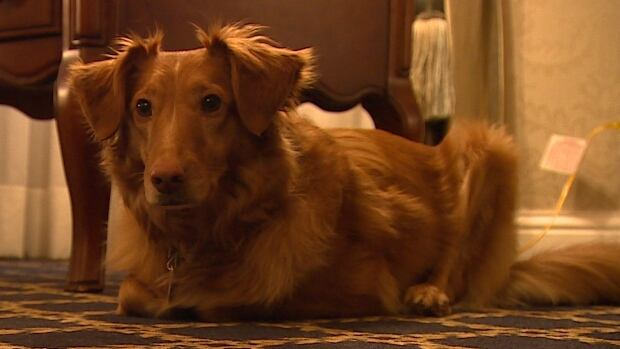 Odie provides love and comfort to grieving families.