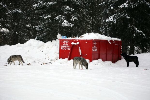 Wolf pack sighting near Banff