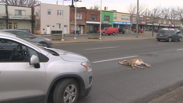 Residents say they tried to corral the deer, which was running through side streets Sunday before noon, but it managed to get onto the main road where it was struck.