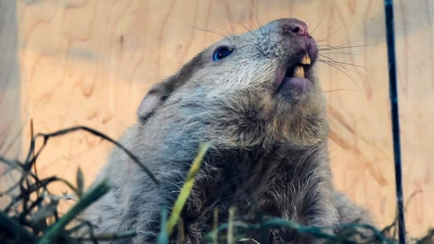 Ontario's Wiarton Willie looks skyward to give us his prediction Tuesday that ends up being bad news for those looking forward to spring weather.