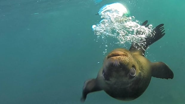 Sea lions can eat up to 8 per cent of body weight in a single feeding, says naturalist Brian Keating.