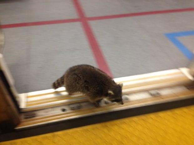 raccoon on spadina subway
