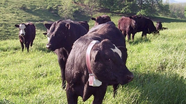 In this 2008 photo from the U.S. Department of Agriculture, a cow wears a collar equipped with a GPS device. It's one of the technologies increasingly found on Canadian farms.