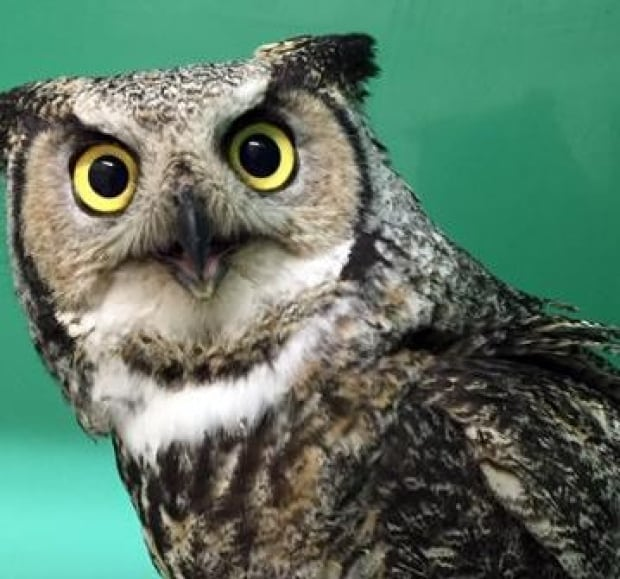 Owl release U of S