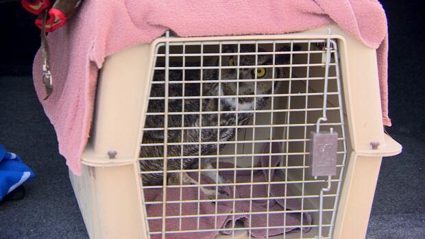 Owl release Saskatoon