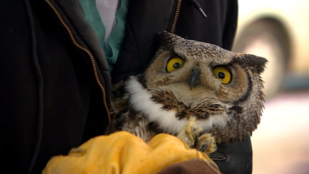 The owl has been in the college's care since Jan 21, 2016.