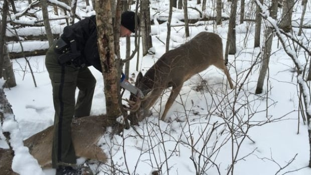 Athabasca district fish and wildlife officer Adam Jalbert frees a white-tailed buck by sawing through the antlers of the dead deer it had been dragging around for up to two days last month.