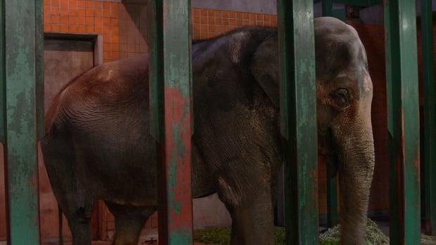 Hanako is a 69-year-old captive Asian elephant living at Inokashira Park Zoo in Tokyo, says Vancouver blogger Ulara Nakagawa.