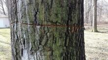 LaSalle Tree Damage