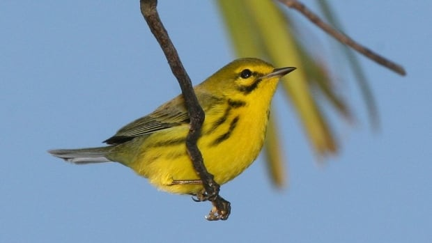 The range of songbirds like this prairie warbler is shrinking with climate change.
