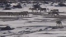 George River caribou