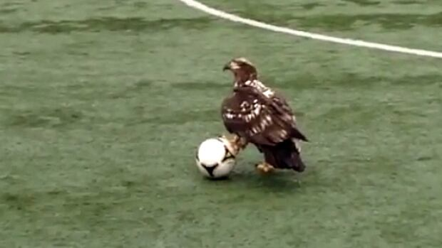 This juvenile bald eagle was ready to play some ball.