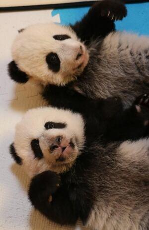 twin panda cubs win awards