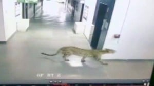 Leopard invades school grounds in southern India
