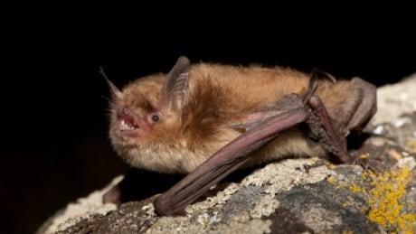 First rabid bat attack in over a decade in Terrace, B.C.