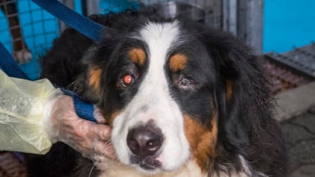 This seized Bernese mountain dog missing an eye was one of dozens of dogs seized by the SPCA.