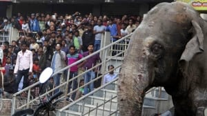 India Rampaging Elephant Feb 10 2016 in Siliguri city