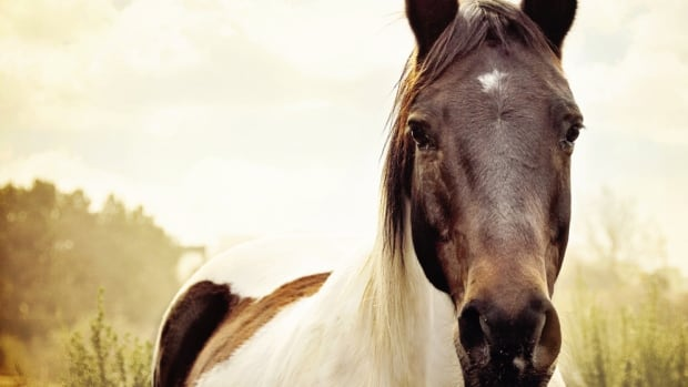 A new study suggests horses can correctly interpret human facial expressions — especially anger.