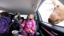 Little girl feeds elk