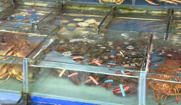 Live lobsters in a Chinese store