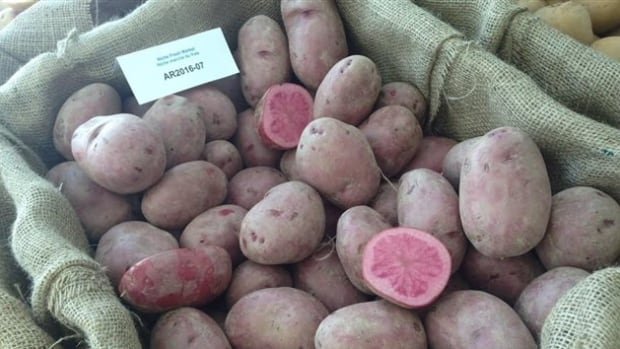 The new pink potato, unveiled this week in events across Canada.