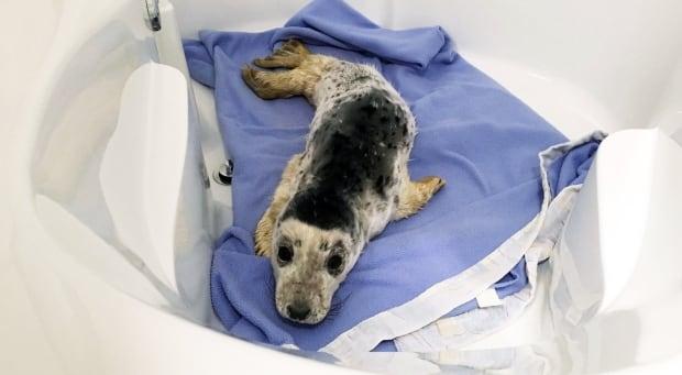 Seal pup Sammy