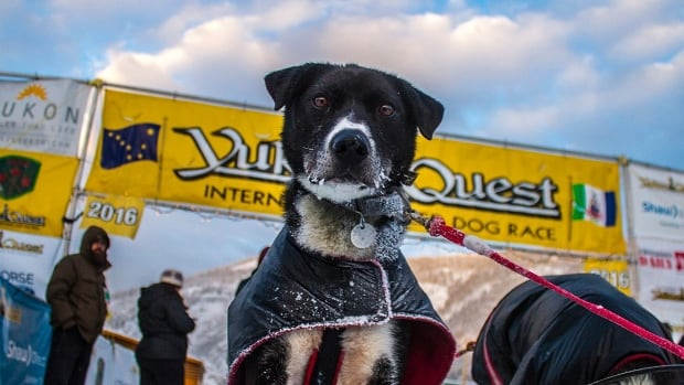 A dog belonging to musher Matt Hall rests at the Dawson City checkpoint Wednesday. Organizers have moved the finish line as warm temperatures are leading to rapidly deteriorate ice on the Yukon River.