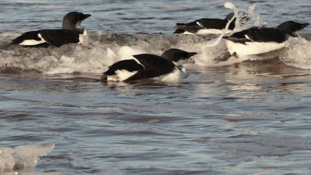 Once the murres were rested and fed, the Atlantic Wildlife Institute sent them on their way.