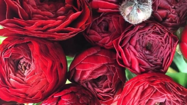 eco stems suggest ranunculus as a substitute for roses this Valentine's Day.