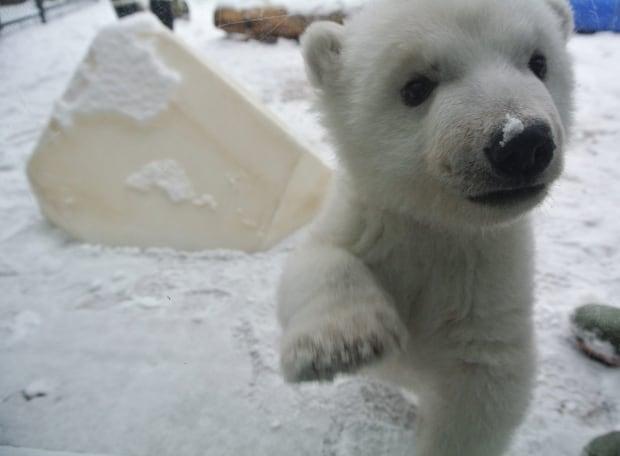 toronto zoo polar bear cub