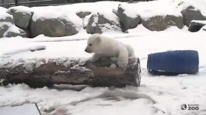 Polar bear cub gets 1st taste of snow