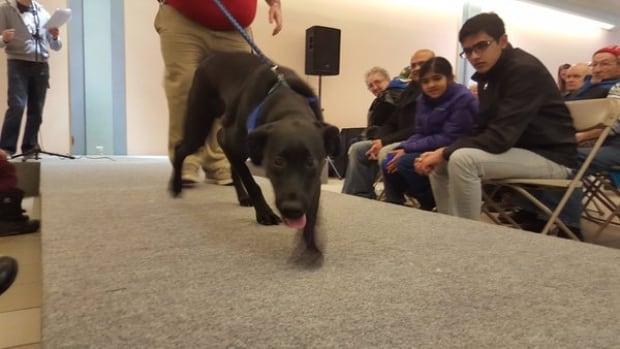Saskatoon - Black Lab - Dog - adoption