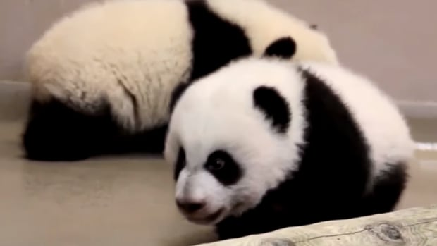 The two young giant panda bear cubs were born at the Toronto Zoo on Oct. 13, 2015.