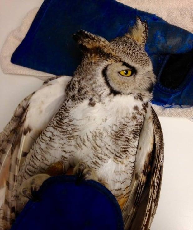 salthaven owl 5