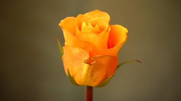 Police Rose