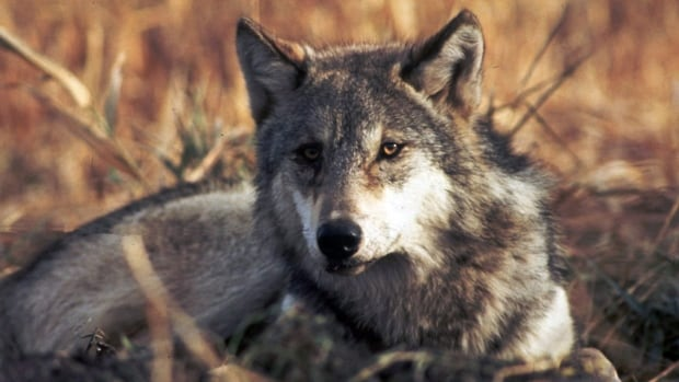 Three Minnesota men have been fined a total of $4,000 for killing a wolf without a licence near Minaki, Ont. in November of 2015.