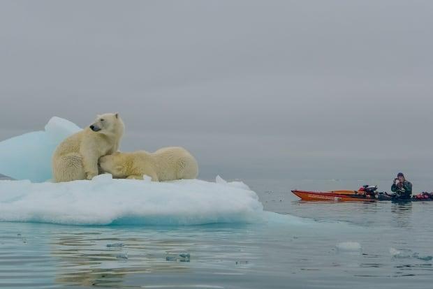 jaime sharp polar bear