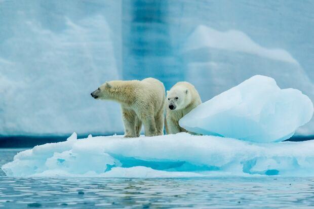 jaime sharp polar bear 2