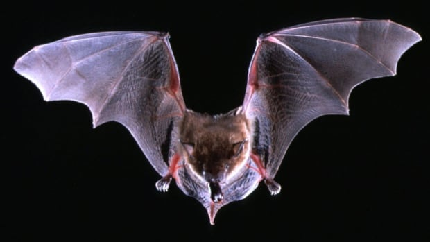 A big brown bat flys with a beetle in its mouth. It's the most common species of bat in the United States.