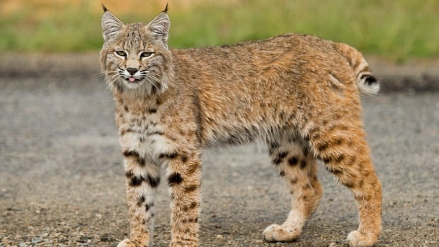 One of the photographs of a bobcat, submitted to UBC Okanagan campus Masters student TJ Gooliaf.