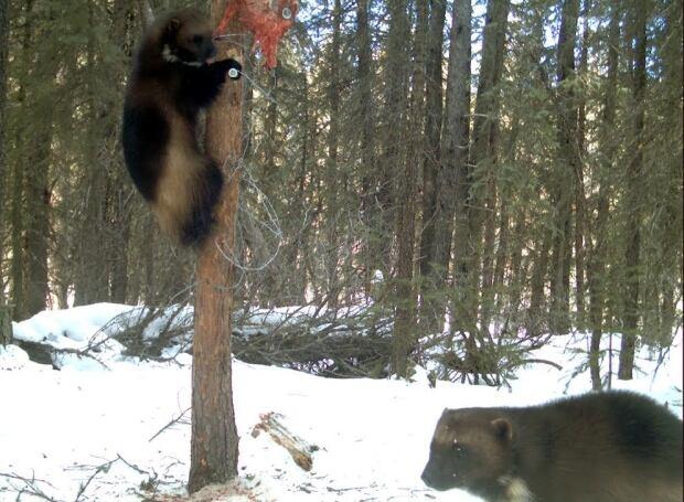 Wolverine climbing tree