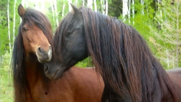 Rhonda Snow was been recognized for her work preserving the Ojibwe pony.  It's a wild horse that used to be plentiful in northwestern Ontario, but whose numbers have dropped considerably.