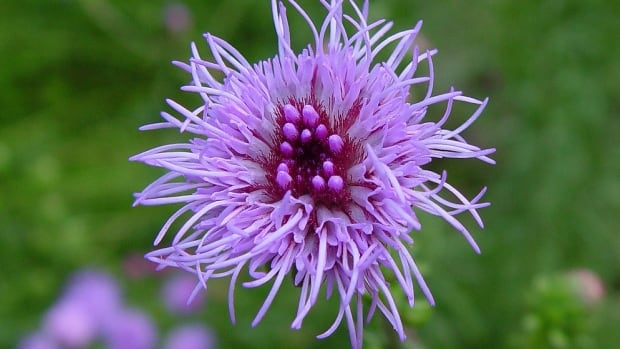 """A thistle-like plant, the northern blazing star is considered """"locally rare"""" in Alberta."""