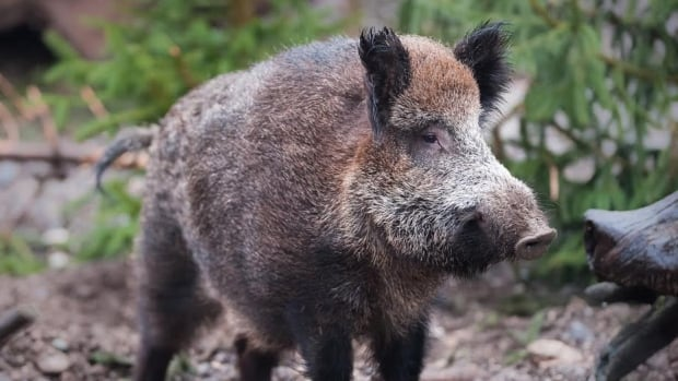 """Wild boars are wreaking havoc on ranching operations in Alberta and Saskatchewan. """"They're basically mammalian rototillers, and that's what gets them into trouble to a large degree,"""" says wildlife columnist Brian Keating."""