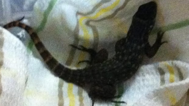 Angie MacLellan and her husband found this 30-centimetre lizard in their suitcase.